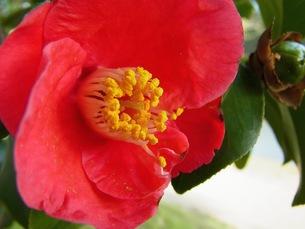 赤い椿の写真素材 [FYI00126626]