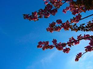 八重桜の写真素材 [FYI00126632]