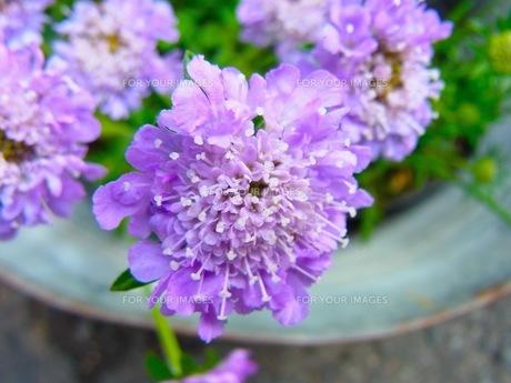 紫の花の写真素材 [FYI00126667]