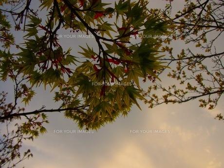 初夏の紅葉の素材 [FYI00126683]