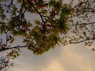 初夏の紅葉の写真素材 [FYI00126683]