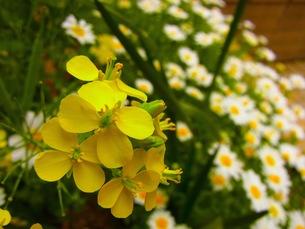 菜の花の写真素材 [FYI00126684]