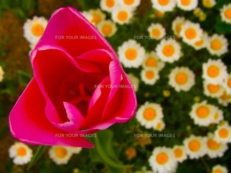 赤いチューリップとマーガレットの写真素材 [FYI00126696]