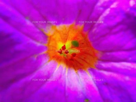 紫の花の写真素材 [FYI00126707]