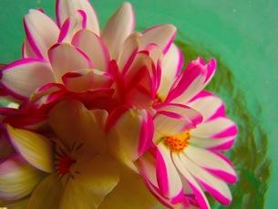 水に浮かんだ花の写真素材 [FYI00126714]