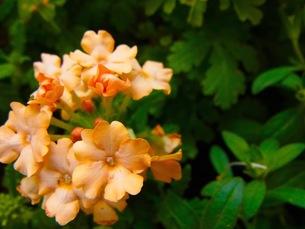 ピンクの花の写真素材 [FYI00126716]