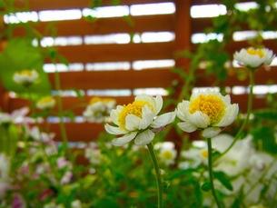 白い花の写真素材 [FYI00126717]