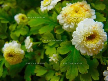 白い花の素材 [FYI00126718]