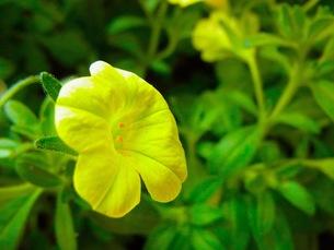 黄色いミリオンベルの写真素材 [FYI00126722]