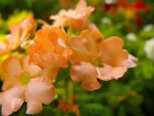 ピンクの花の写真素材 [FYI00126726]