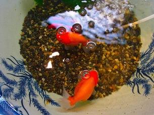 らんちゅう、金魚の写真素材 [FYI00126743]