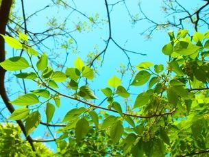 葉桜の写真素材 [FYI00126814]