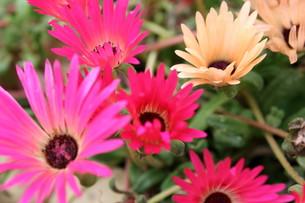 ピンクのデイジーの写真素材 [FYI00126832]