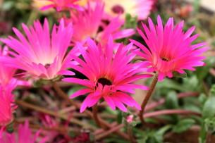 ピンクのデイジーの写真素材 [FYI00126849]