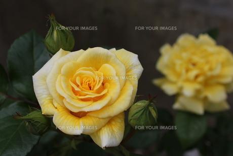 黄色の薔薇の写真素材 [FYI00126852]