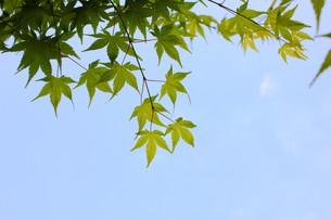 新緑の紅葉の写真素材 [FYI00126923]