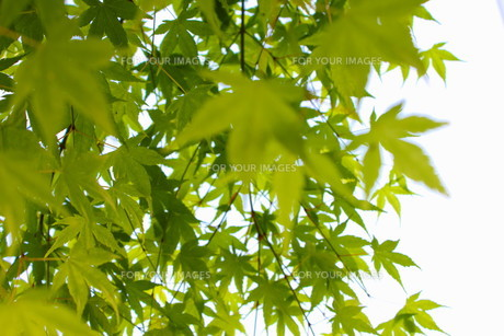 新緑の紅葉の素材 [FYI00126930]
