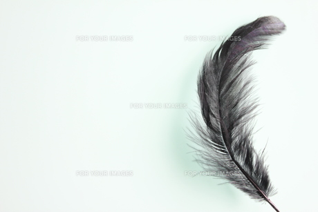 黒の羽根の素材 [FYI00126966]