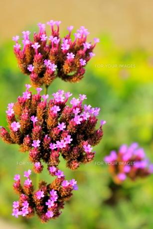 紫の花の素材 [FYI00126977]