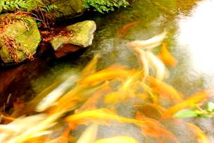 鯉の写真素材 [FYI00126980]