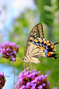 アゲハチョウと紫の花の写真素材 [FYI00126981]
