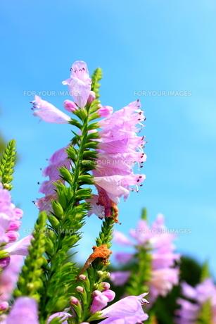 ピンクの花の素材 [FYI00126986]