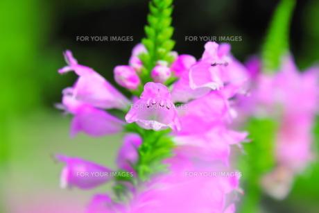 ピンクの花の素材 [FYI00126987]
