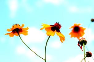 黄色のデイジーの写真素材 [FYI00126993]