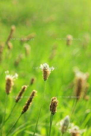オオバコの草原の素材 [FYI00126998]