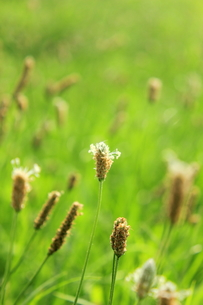 オオバコの草原の写真素材 [FYI00126998]