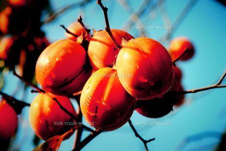 熟れた柿の実の写真素材 [FYI00127678]