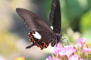 蝶の食事の素材 [FYI00127695]