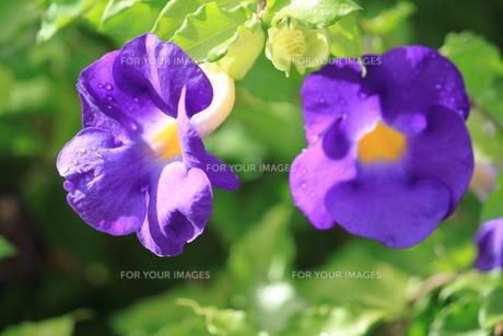 青い花の素材 [FYI00127723]