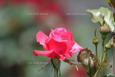 ピンクのバラの素材 [FYI00127812]