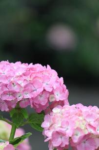 ピンクのアジサイの素材 [FYI00127813]