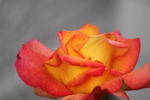 オレンジのバラの素材 [FYI00127816]
