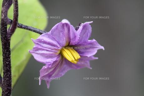 ナスの花の素材 [FYI00127821]