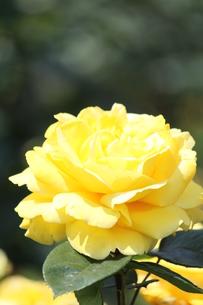 黄色のバラの素材 [FYI00127824]