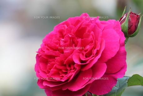 ピンクのバラの素材 [FYI00127825]