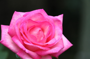 ピンクのバラの素材 [FYI00127826]