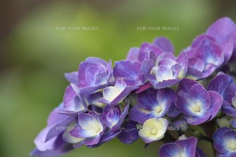紫のアジサイの素材 [FYI00127830]