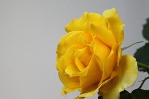 黄色のバラの素材 [FYI00127835]