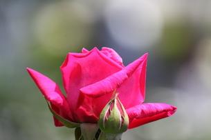 ピンクのバラの素材 [FYI00127836]