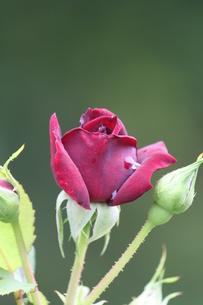 真っ赤なバラの素材 [FYI00127853]