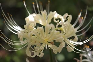 白い彼岸花の素材 [FYI00127861]