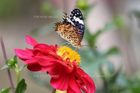 蝶とダリアの素材 [FYI00127870]