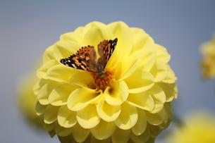 蝶とダリアの素材 [FYI00127877]