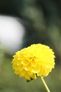 黄色のダリアの素材 [FYI00127886]