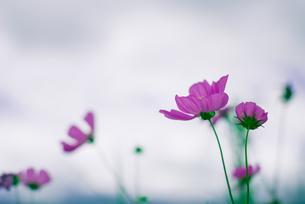 コスモスと曇り空の写真素材 [FYI00127905]