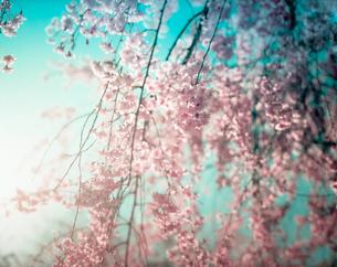 桜と空、逆光の写真素材 [FYI00127911]